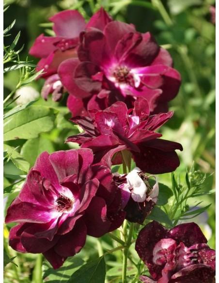 róże rabatowe Burgundy Ice bordowe