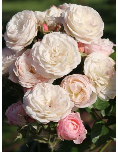 Bouquet Parfait róże krzaczaste