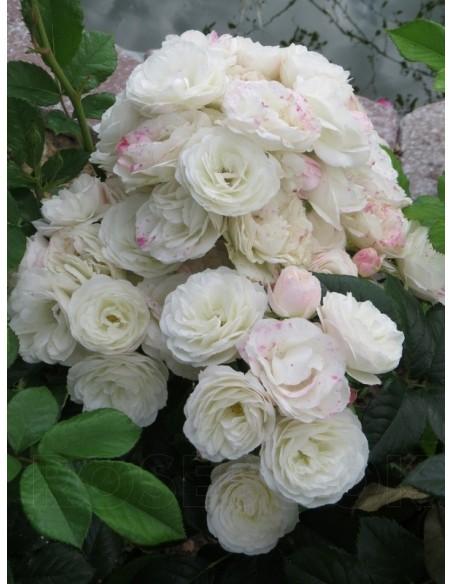 Bouquet Parfait krzaczaste róże