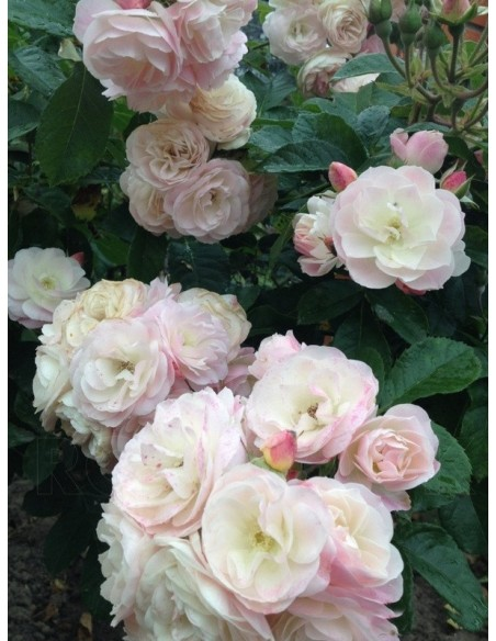 róże krzaczaste Bouquet Parfait