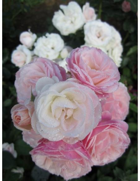 krzaczaste róże Bouquet Parfait