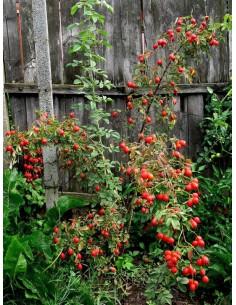 Karpatia róże jadalne