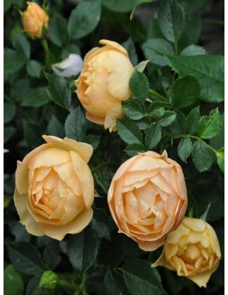 łososiowa róża na pniu