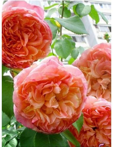 Papi Delbard róże pnące