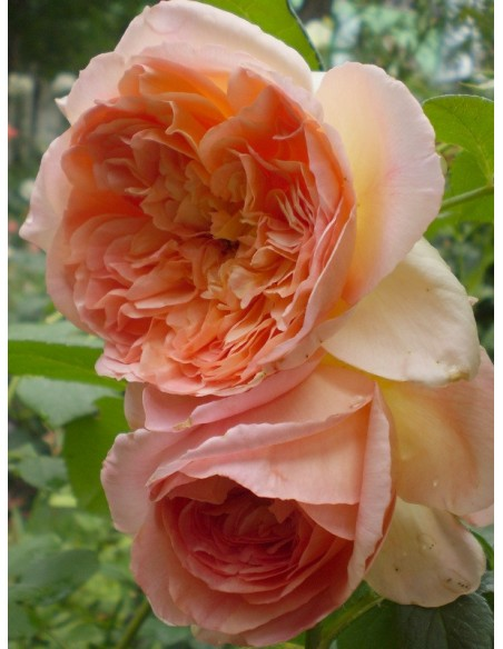 Papi Delbard pnące róże