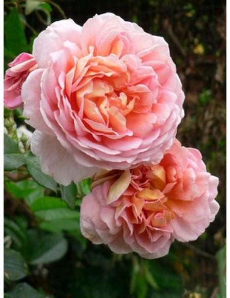 róże pnące Papi Delbard