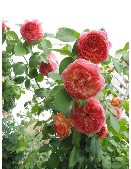 pnące róże Papi Delbard