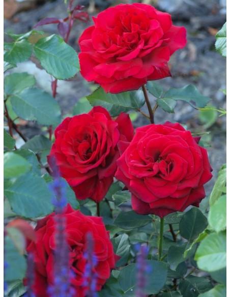 Velvet Fragrance wielkokwiatowe róże
