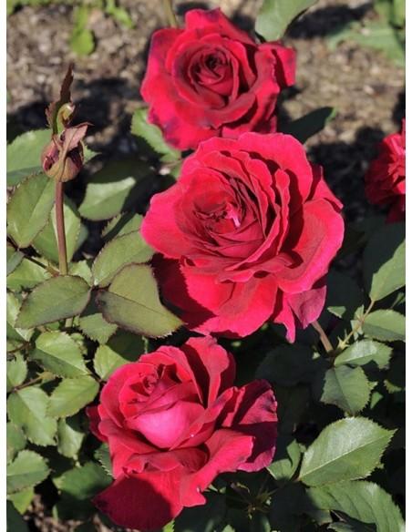 róże wielkokwiatowe Velvet Fragrance