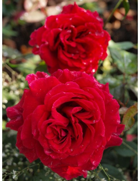 wielkokwiatowe róże Velvet Fragrance