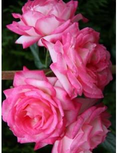 Handel róże pnące