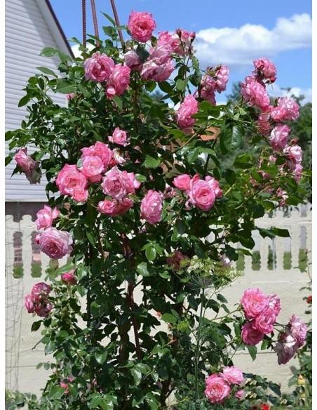 róże pnące Handel