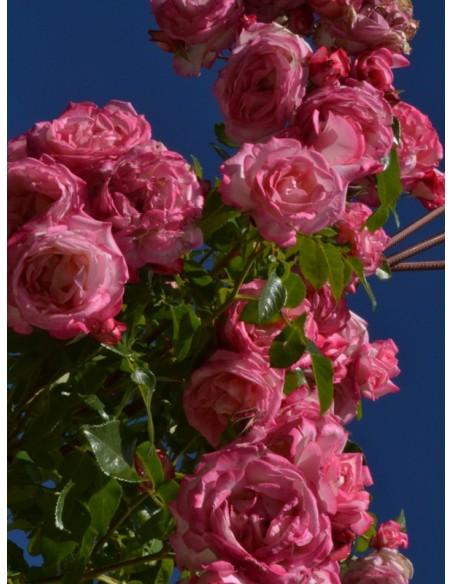 Handel wielobarwne róże pnące