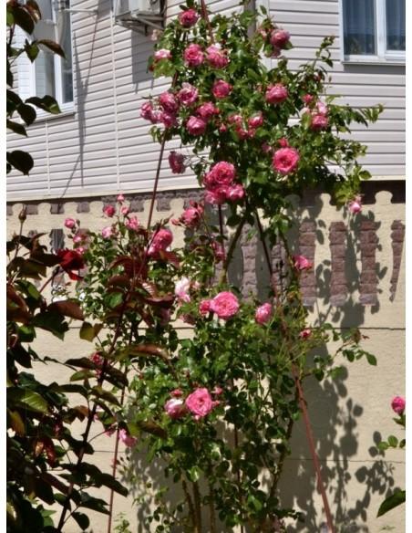 wielobarwne róże pnące Handel