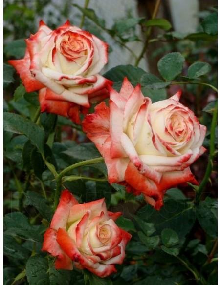 róże wielkokwiatowe Imperatrice Farah