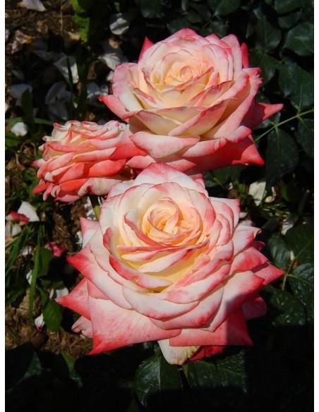 wielkokwiatowe róże Imperatrice Farah