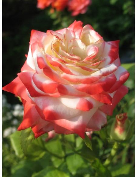 Imperatrice Farah wielkokwiatowe róże