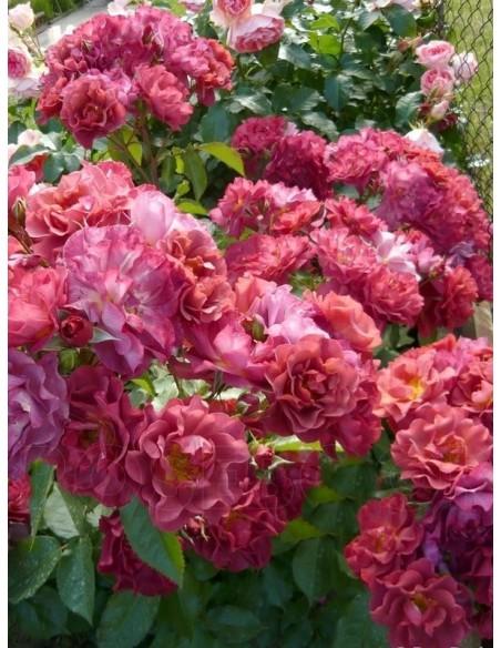 Cinco de Mayo róże rabatowe