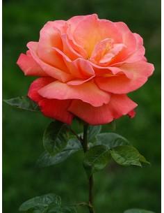troika róża pienna