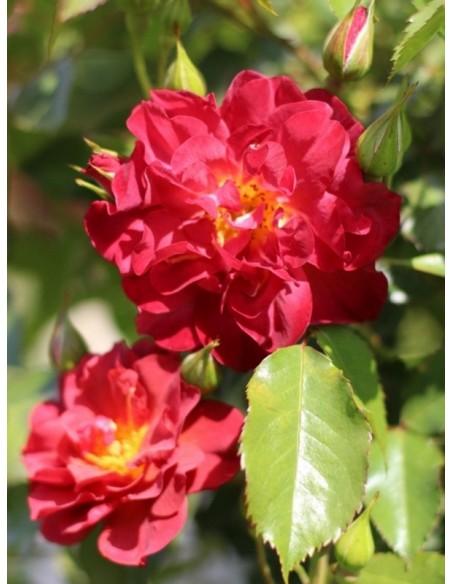 róże rabatowe Cinco de Mayo