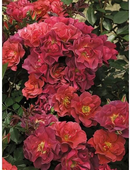 rabatowe róże Cinco de Mayo