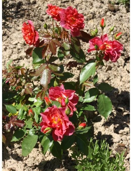 Cinco de Mayo rabatowe róże