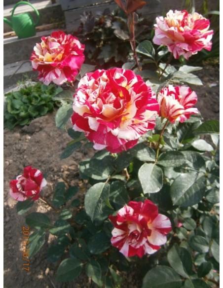 Maurice Utrillo wielkokwiatowe róże