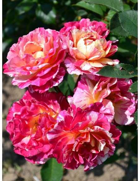wielkokwiatowe róże Maurice Utrillo