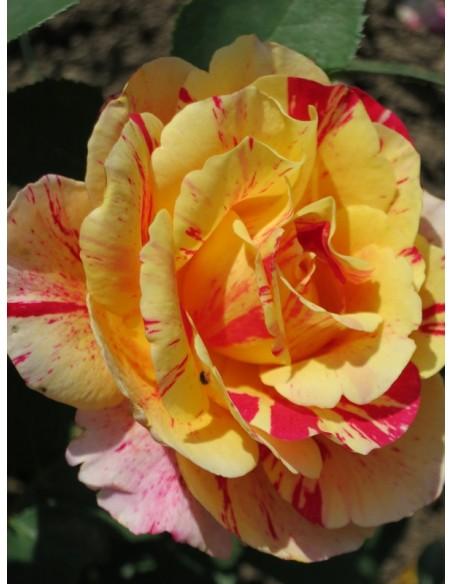 róże wielkokwiatowe Maurice Utrillo