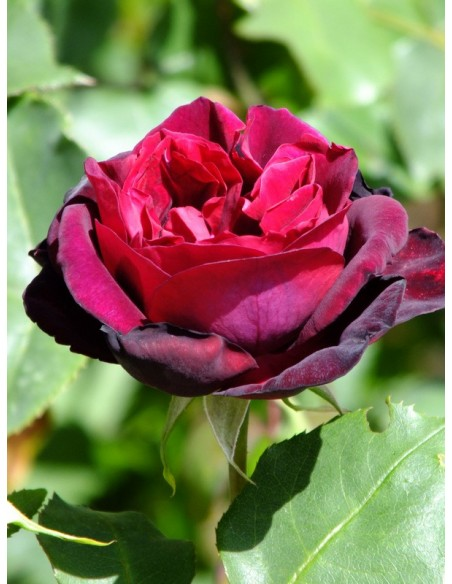 Francis Dubreuil herbatnia róża