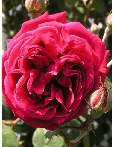 Gruss an Teplitz róże chińskie Gl 1.jpg