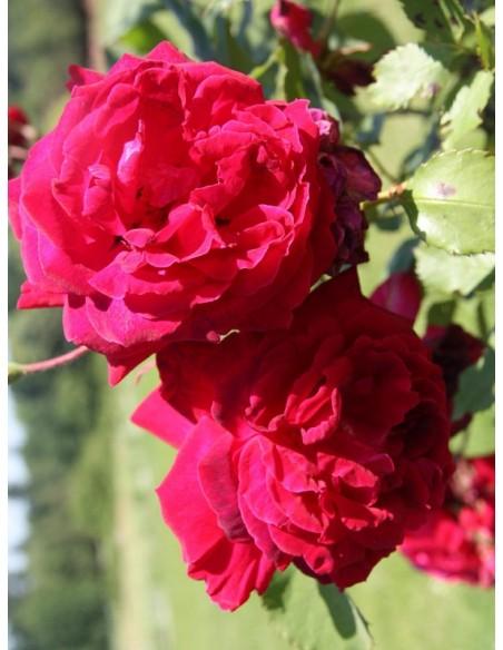 róże chińskie  Gruss an Teplitz