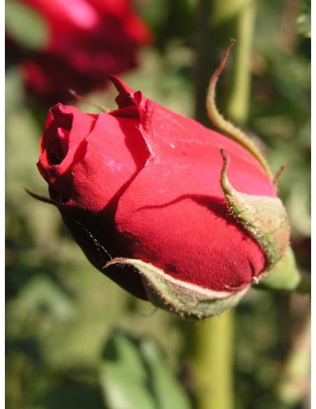 Gruss an Teplitz chińskie róże