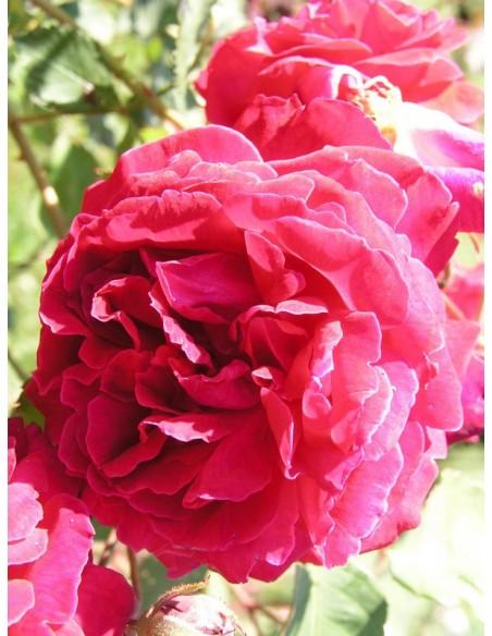 chińskie róże  Gruss an Teplitz