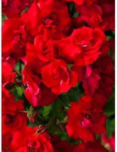 La Sevillana róże rabatowe