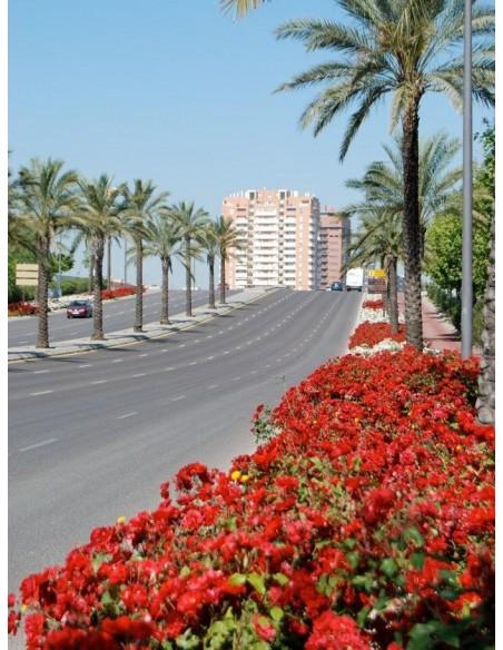 La Sevillana odporne róże rabatowe