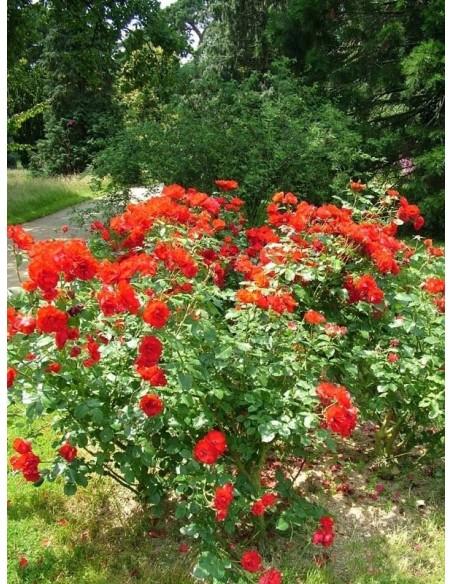 róże rabatowe La Sevilllana