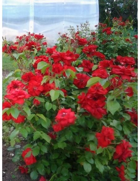 odporne róże La Sevillana