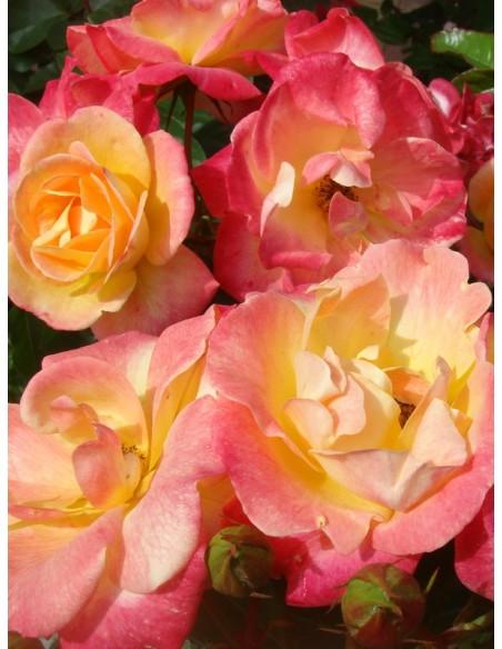 Tzigane róże rabatowe