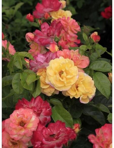 Tzigane rabatowe róże