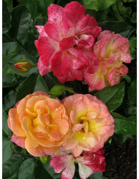 róże rabatowe Tzigane