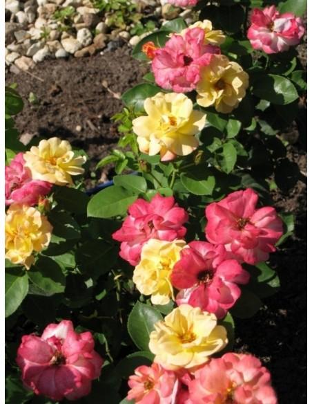 rabatowe róże Tzigane