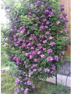 Veilchenblau róże pnące