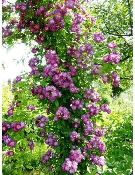 róże pnące Veilchenblau