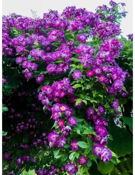 pnące róże Veilchenblau