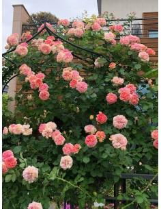 róże pnące Alchymist