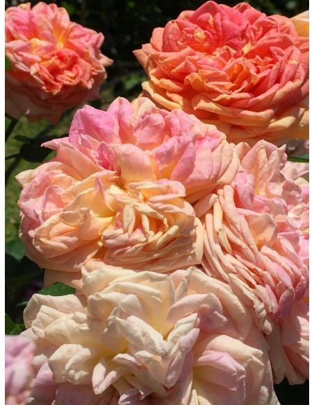 Alchymist róże pnące