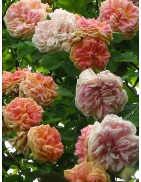 Alchymist pnące róże