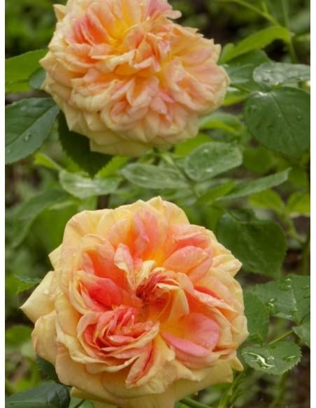 Alchymist herbaciane róże pnące