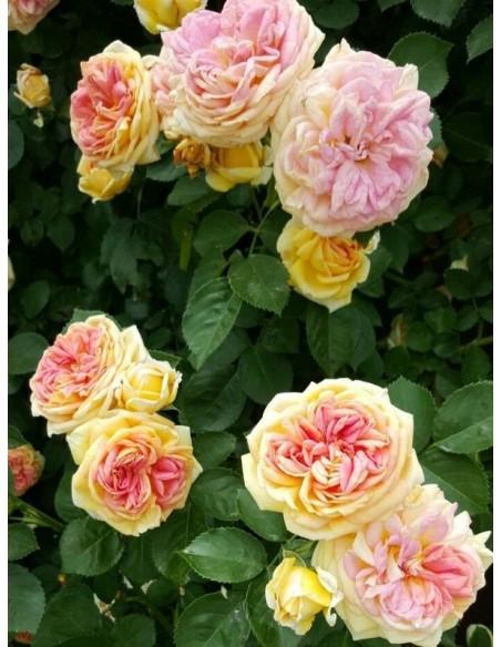 Alchymist morelowe róże pnące